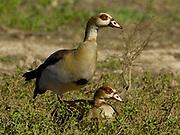Egyptian goose, Alopochen aegyptiaca, Limpopo, South Africa