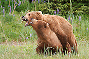Mating Brown or Grizzly Bears, Lake Clark National Park, Alaska.