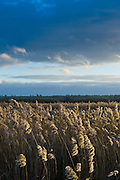Marsh grasses and reeds in the Avalon Marshes wetlands of the Somerset Levels near Shapwick Heath, Somerset, UK