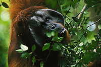 An adult male Bornean Orangutan (Pongo pygmaeus) named Jari Manis feeding on leaves.  Gunung Palung N.P., Borneo, Indonesia..Alfred Russel Wallace made the most in depth early field study of orangutans.