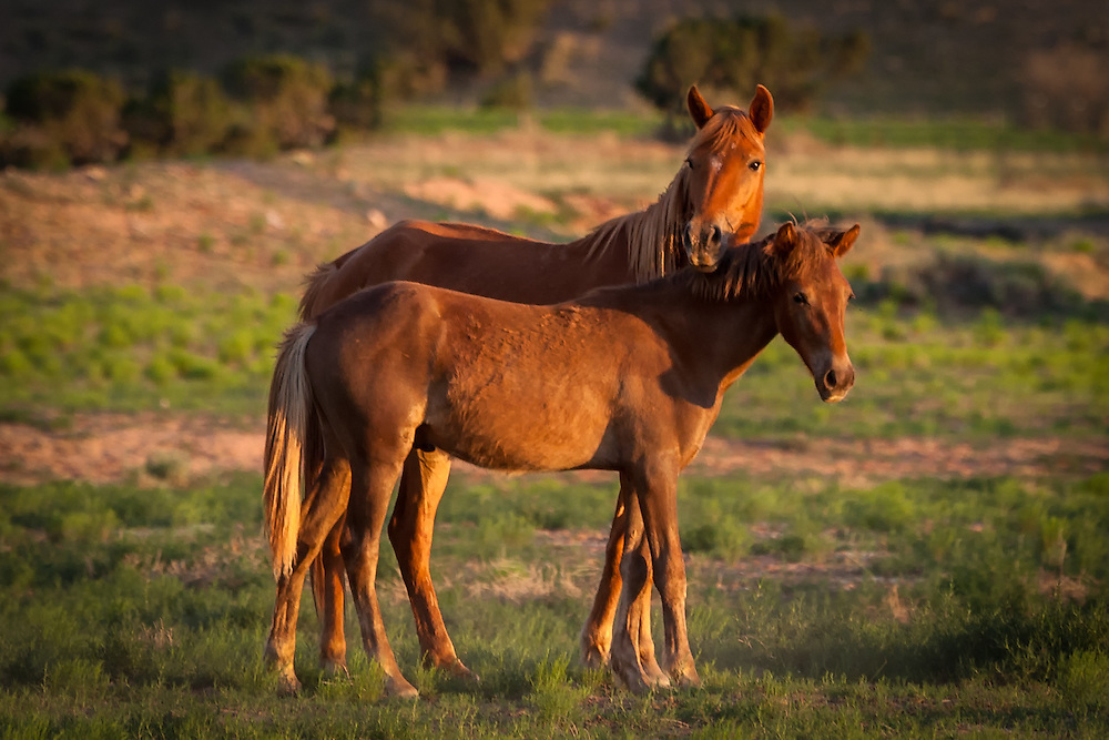 A mare and her young colt stick close together in the light of sunset, San Felipe Reservation, Sandoval County, New Mexico