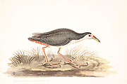 The white-breasted waterhen (Amaurornis phoenicurus) is a waterbird of the rail and crake family, Rallidae, that is widely distributed across South and Southeast Asia. They are dark slaty birds with a clean white face, breast and belly. They are somewhat bolder than most other rails and are often seen stepping slowly with their tail cocked upright in open marshes or even drains near busy roads. They are largely crepuscular in activity and during the breeding season, just after the first rains, make loud and repetitive croaking calls. 18th century watercolor painting by Elizabeth Gwillim. Lady Elizabeth Symonds Gwillim (21 April 1763 – 21 December 1807) was an artist married to Sir Henry Gwillim, Puisne Judge at the Madras high court until 1808. Lady Gwillim painted a series of about 200 watercolours of Indian birds. Produced about 20 years before John James Audubon, her work has been acclaimed for its accuracy and natural postures as they were drawn from observations of the birds in life. She also painted fishes and flowers. McGill University Library and Archives