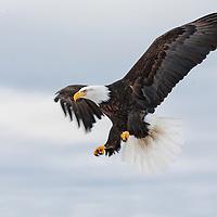 A Bald Eagle in flight over Kachemak Bay
