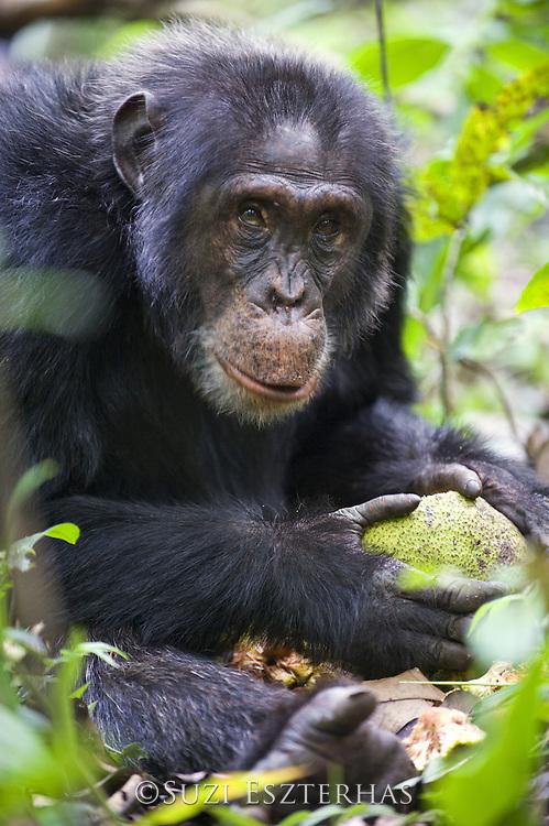 Chimpanzee<br /> Pan troglodytes<br /> Feeding on Treculia africana fruit<br /> Tropical forest, Western Uganda
