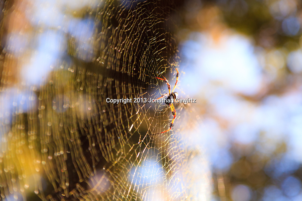 A Nephila clavipes golden silk orb-weaver spider in its web in the Fisheating Creek WMA, Florida. WATERMARKS WILL NOT APPEAR ON PRINTS OR LICENSED IMAGES.