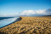 Sheep hide among dune grass at west coast beach, Berneray, Outer Hebrides, Scotland