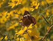 Butterfly in Yellow Sea