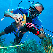 Commercial fisherman Andres Maldonado takes a triggerfish off his spear near Cabo Rojo, Puerto Rico. He noticed drastic and obvious declines in fish numbers and habitat availbale after Hurricane Maria in 2017 which put many other commercial fisherman out of business. Image release available.