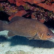 Blue Croaker inhabit shallow clear water areas with thick plant growth to reefs sheltering beneath ledge overhangs and in dark recesses in Tropical West Atlantic; picture taken Tavernier, Florida Keys.
