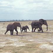 African Elephant, (Loxodonta africana) Herd in Kenya. Africa.