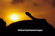 02905-00319 Western Diamondback Rattlesnake (Crotalus atrox) at sunset Starr Co. TX