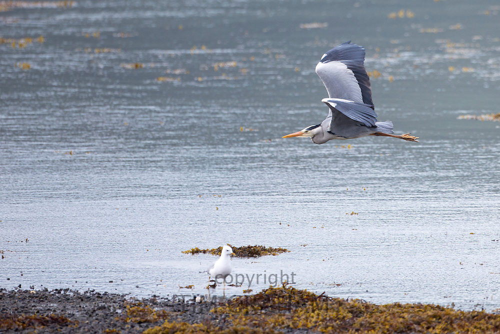 Large Grey Heron, Ardea cinerea, soaring in flight with wings flapping by shoreline of loch on the Isle of Mull in Inner Hebrides and Western Isles of Scotland