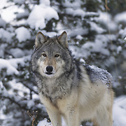 Gray wolf (Canis lupus) adult in the western Rocky Mountains during winter. Captive Animal