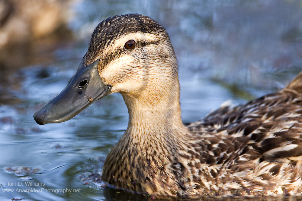 Pacific Black Duck (Anas superciliosa) - Tasmania