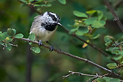 Mountain chickadee,  Poecile gambeli, Sandia Mountains, New Mexico