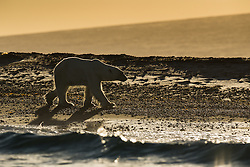 Polar bear (Ursus maritimus) at Storøya in September, Svalbard, Norway