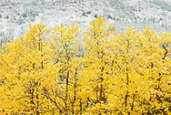 Aspens, First Snow, Castle Provincial Park, Alberta