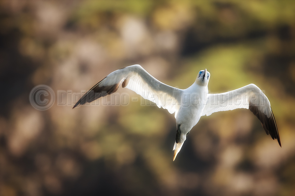 Eye contact with gannet flying in the air   Øyekontakt med Havsule som flyr i lufta.