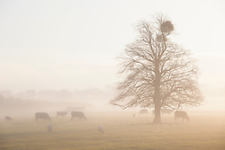 Mistletoe growing on a common lime tree on a misty winter's morning in Gloucestershire. Viscum album, Tilia x europaea