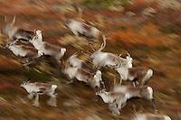 forollhogna national park , norway, september,wild reindeer
