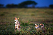A female cheetah and her two cubs  (Acinonyx jubatus) sitting in savannah vegetation at dusk,  Ndutu, Ngorongoro Conservation Area, Tanzania, Africa