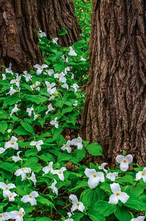 Trillium wildflowers, May, Olin Lake Nature Preserve, Lagrange County, Indiana, USA