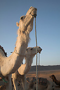 Camel heads and necks Sahara desert, Zagora, Morocco