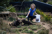 A keeper feeding devils at Trowunna Wildlife park in Mole Creek, North-West Tasmania. There are several wildlife sanctuaries in Tasmania who work to ensure the continuing existence of the Tasmanian devil, they have breeding programs and exchange programs with national and international zoos. The devil is a very popular animal and the recently Tasmania has made it the official state icon. Locals and interstate travellers visit the parks to see this species which would be almost impossible to guarantee a sighting in the wild.