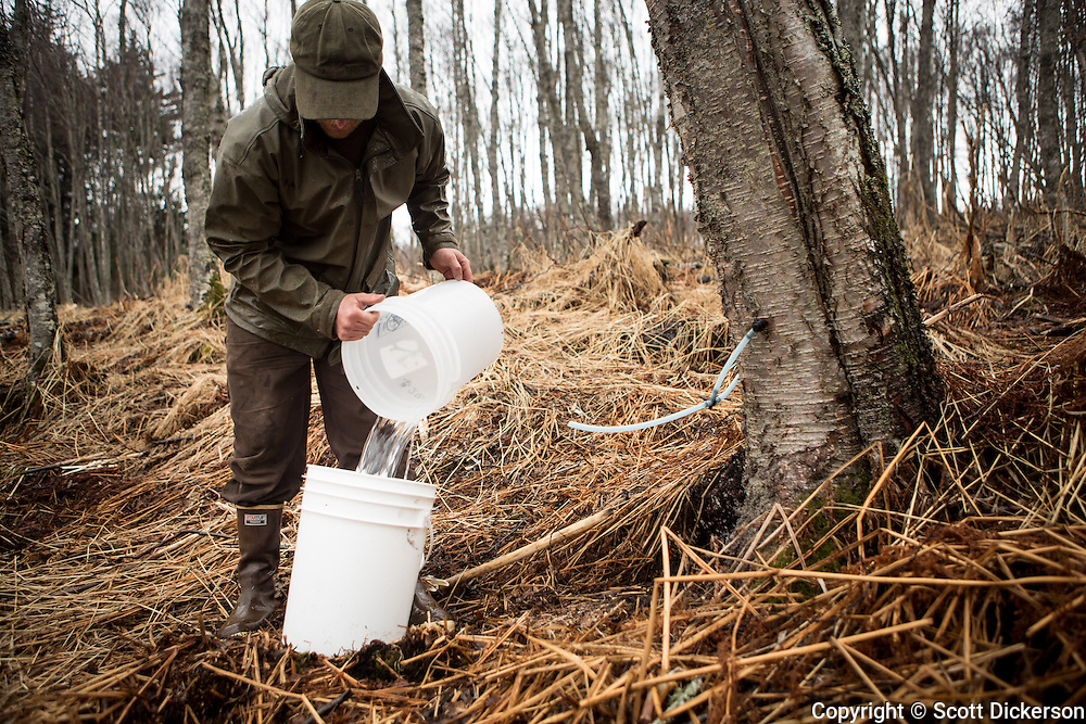 Jake Beaudoin collecting Birch sap to be evaporated down into Birch Syrup in Homer, Alaska.