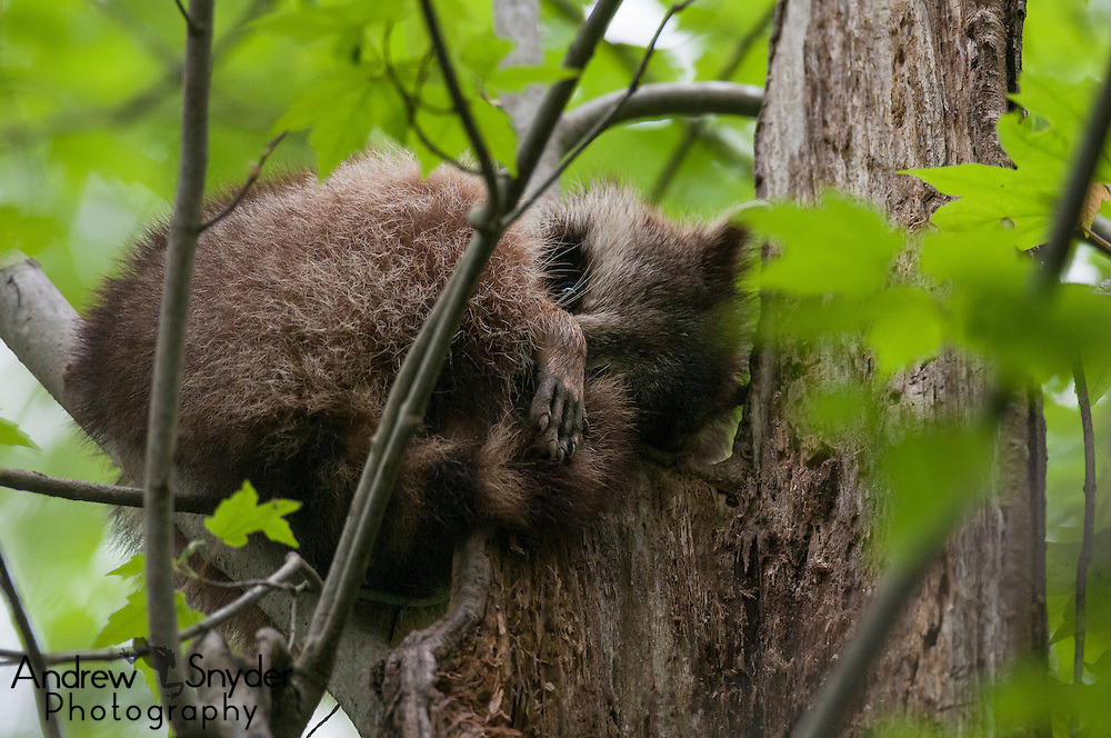 A sleepy raccoon (Procyon lotor) gets some rest in a tree above a Mississsippi swamp - Water Valley, Mississippi