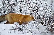 01871-02804 Red Fox (Vulpes vulpes) in snow in winter, Churchill Wildlife Management Area, Churchill, MB Canada