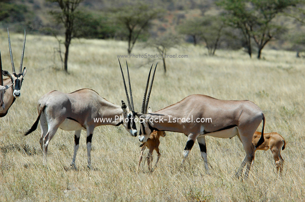 Kenya, Samburu National Reserve, Kenya, Gemsbok (Beisa Oryx), two males clashing heads February 2007