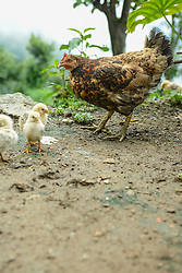 Chicken with its fledglings, Nepal