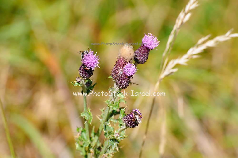 Meadow thistle (Cirsium dissectum) Photographed on Elfer Mountain, Stubai Valley, Tyrol, Austria in September