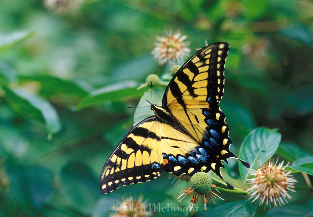 Eastern Swallowtail Butterfly (Papilio glaucus)
