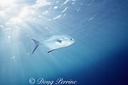 permit, Trachinotus falcatus, Cayman Islands, ( Caribbean Sea )