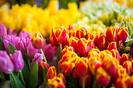 2018 MAY 15 - Tulips for sale in Pike Place Market in Seattle, WA, USA. By Richard Walker