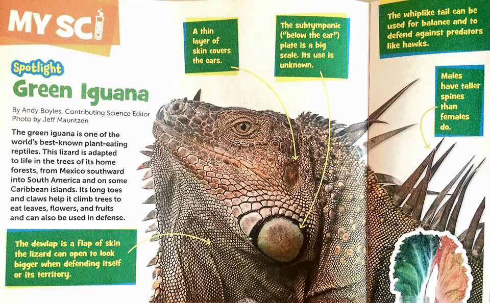 Green iguana published in Highlights for Children magazine MY SCI article.