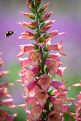 Digitalis hybrida 'Foxlight Rose Ivory' with bee.