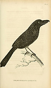 Thamnophilus lineatus from volume XIII (Aves) Part 2, of 'General Zoology or Systematic Natural History' by British naturalist George Shaw (1751-1813). Griffith, Mrs., engraver. Heath, Charles, 1785-1848, engraver. Stephens, James Francis, 1792-1853 Published in London in 1825 by G. Kearsley