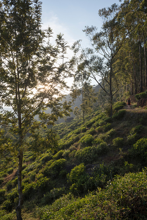 A young European woman backpacking in Sri Lanka enjoys a late afternoon hike through a tea plantation in Nuwara Eliya, Sri Lanka