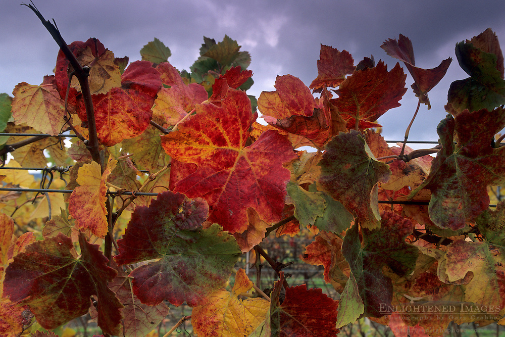 Wine grape leaves on vine in fall, Cambria Winery, near Santa Maria, Santa Barbara County, California