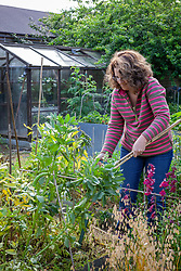 Pulling out overwintered broad beans that have finished flowering - Vicia faba