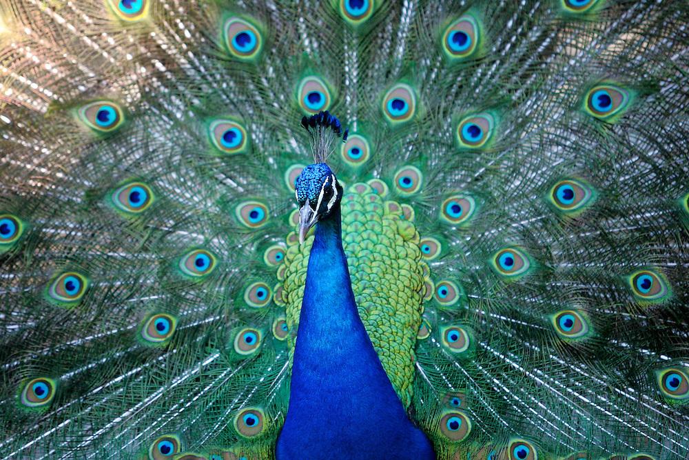 May 8, 2011; Norfolk, VA, USA; A peacock at the Virginia Zoo. Mandatory Credit: Peter Casey