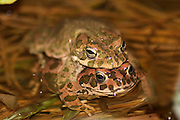 European green toad Bufo viridis mating