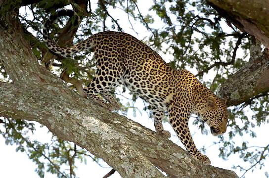 Leopard (Panthera pardus) In tree. Serengeti National Park. Tanzania. Africa.