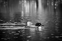 An adult loon swims protectively with a juvenile nearby.<br /> <br /> ©2014, Sean Phillips<br /> http://www.RiverwoodPhotography.com