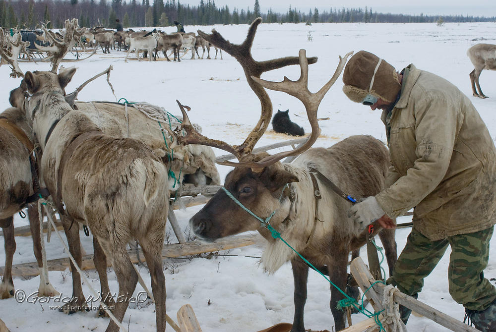 North of the Arctic Circle in Russia, a nomadic Komi reindeer herder harnesses domesticated animals to his sled in order to move camp from one grazing area to the next.