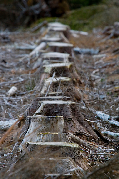 Tree stumps in a clearcut plantation forest on the Wicklow Way, a 132 km hiking trail through the Wicklow mountains. Many sections go through managed plantation forests - this path used to lead through an attractive woodland area, which has now been clearcut by Coillte, the Irish national forestry company.....