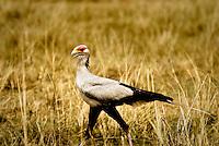A Secretary Bird in the Masai Mara National Park, Kenya